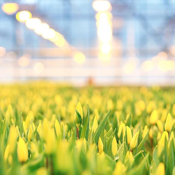 tuinbouw tulpen energie